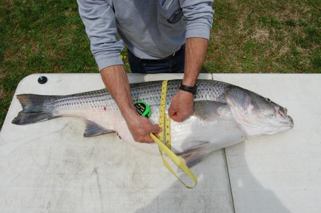 New lake lanier striper record at 47 pounds lake lanier for Lake lanier striper fishing
