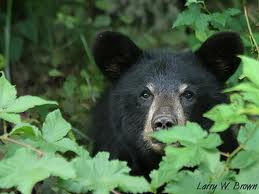 Image result for bear in the woods